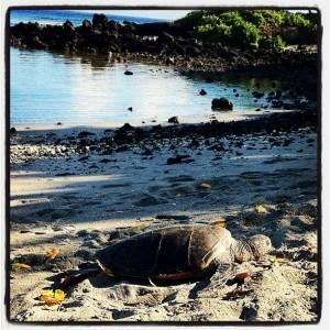 Green Sea Turtle on beach in Hawaii